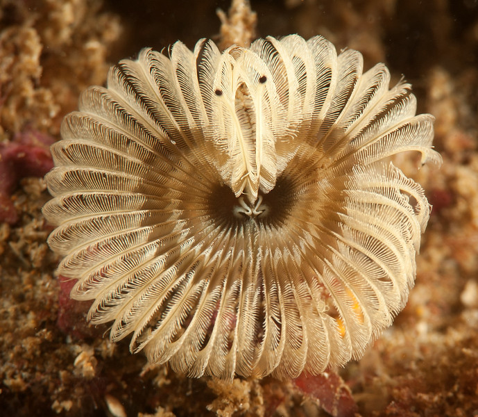 Worm, Acromegalomma sp. <br /> Little Reef, Palos Verdes, California