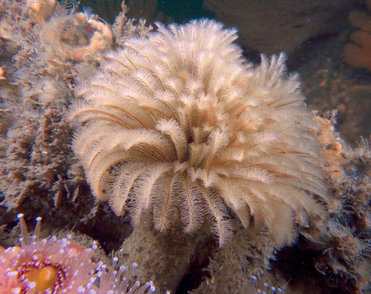 Eudistylia polymorpha <br /> Feather Duster Worm