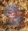 Spirobranchus spinosus - Christmas Tree Worm