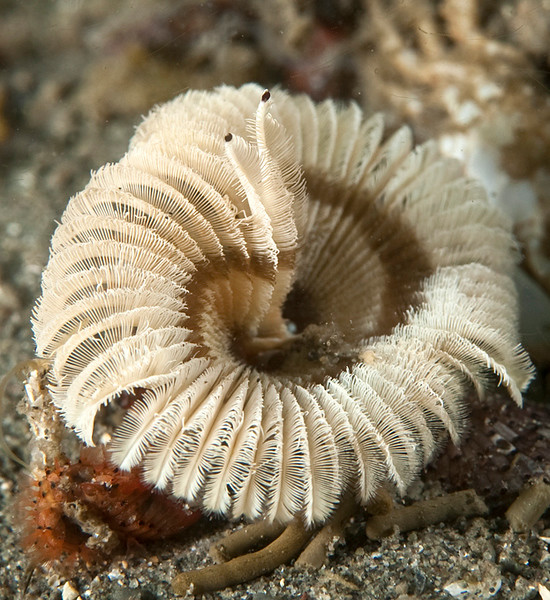 Worm, Acromegalomma sp. <br /> Morro Bay North T-pier, California