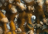 Syllid Worm - genus Eusyllis or Odontosyllis<br /> ID thanks to Leslie Harris<br /> <br /> Golf Ball Reef, Palos Verdes, California
