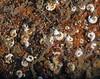 Spriorbid worms<br /> Barge, Redondo Beach, California