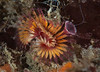 Serpula columbiana<br /> Halfway Reef, Palos Verdes, California