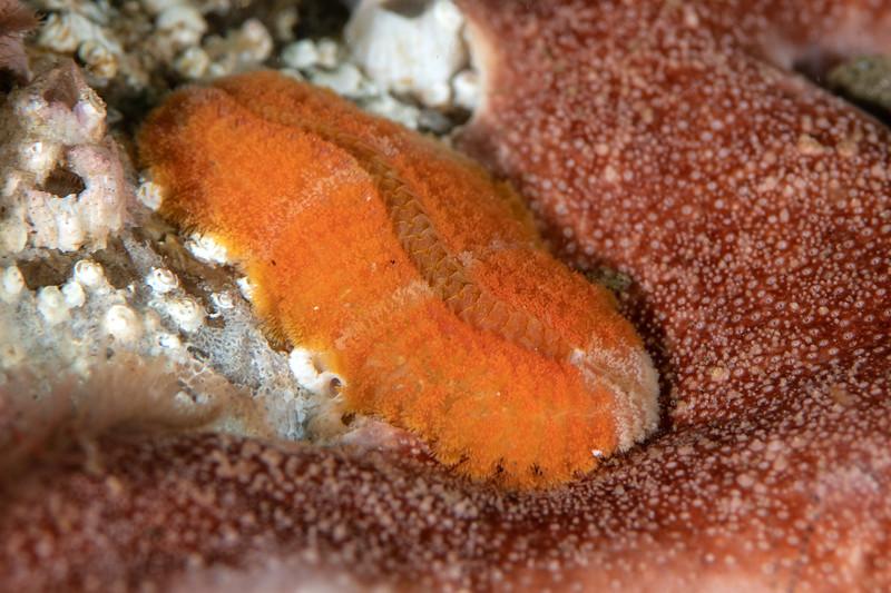 Polychaete worm, Family Euphrosinidae <br /> Golf Ball Reef, Palos Verdes, California