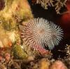 Spirobranchus spinosus and three young topsnails.<br /> Halfway Reef, Palos Verdes, California