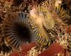 Myxicola infundibulum<br /> Golf Ball Reef, Palos Verdes, California