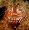 Serpula columbiana worm