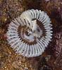 Worm, Acromegalomma sp. <br /> Landing Craft, Palos Verdes Peninsula, California