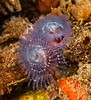 Spirobranchus spinosus - Christmas Tree Worm