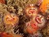 Serpula columbiana worms<br /> Merry's Reef, Palos Verdes, California
