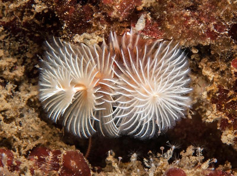Spirobranchus spinosus<br /> Halfway Reef, Palos Verdes, Los Angeles County, California