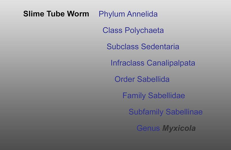 Slime tube worm taxonomy