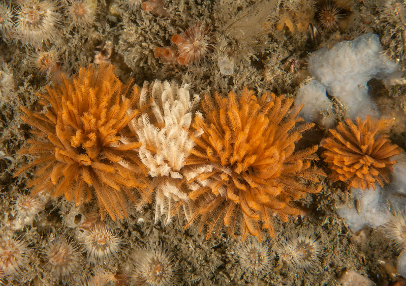 Feather duster worms and white anemones
