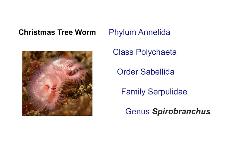 Leslie Harris:<br /> Worms in Family Serpulidae have a hard tube.