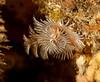 Spirobranchus spinosus<br /> Halfway Reef, Palos Verdes, California