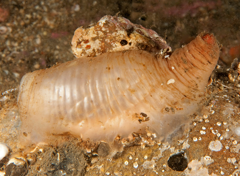 Peanut worm - Sipuncula<br /> <br /> Haggerty's Crane, Palos Verdes, California