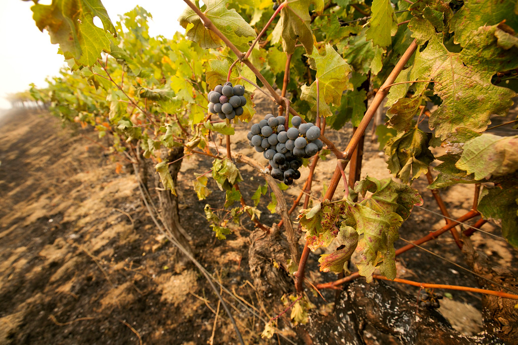 . Grapes hang from vines where the flames of a wildfire swept through Monday, Oct. 9, 2017, in Napa, Calif. Wildfires whipped by powerful winds swept through Northern California sending resident on a headlong flight to safety through smoke and flames as homes burned. (AP Photo/Rich Pedroncelli)