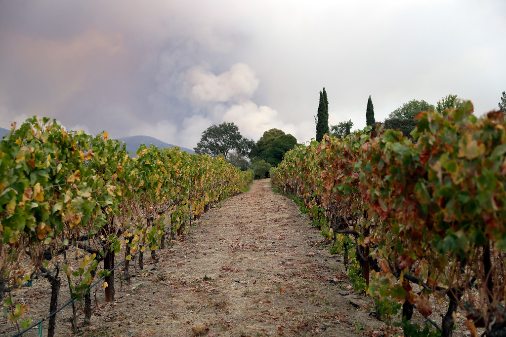 . Vineyards line up under a mountain engulfed by a wildfire Monday, Oct. 9, 2017, in Napa, Calif. (AP Photo/Marcio Jose Sanchez)