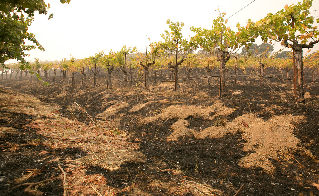 . Grape vines sit among the scorched ground ot the Robert Sinskey Vineyard, Monday, Oct. 9, 2017, in Napa, Calif. Wildfires whipped by powerful winds swept through Northern California sending resident on a headlong flight to safety through smoke and flames as homes burned. (AP Photo/Rich Pedroncelli)