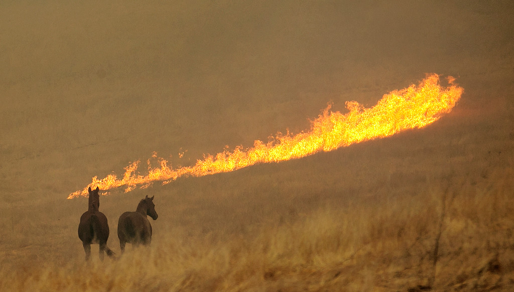 . Flames from a wildfire approach a pair of horses in a field Monday, Oct. 9, 2017, in Napa, Calif. Wildfires whipped by powerful winds swept through Northern California early Monday, sending residents on a headlong flight to safety through smoke and flames as homes burned. (AP Photo/Rich Pedroncelli)