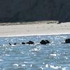 Sea Otters - Moss Landing