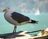 Focused gull
