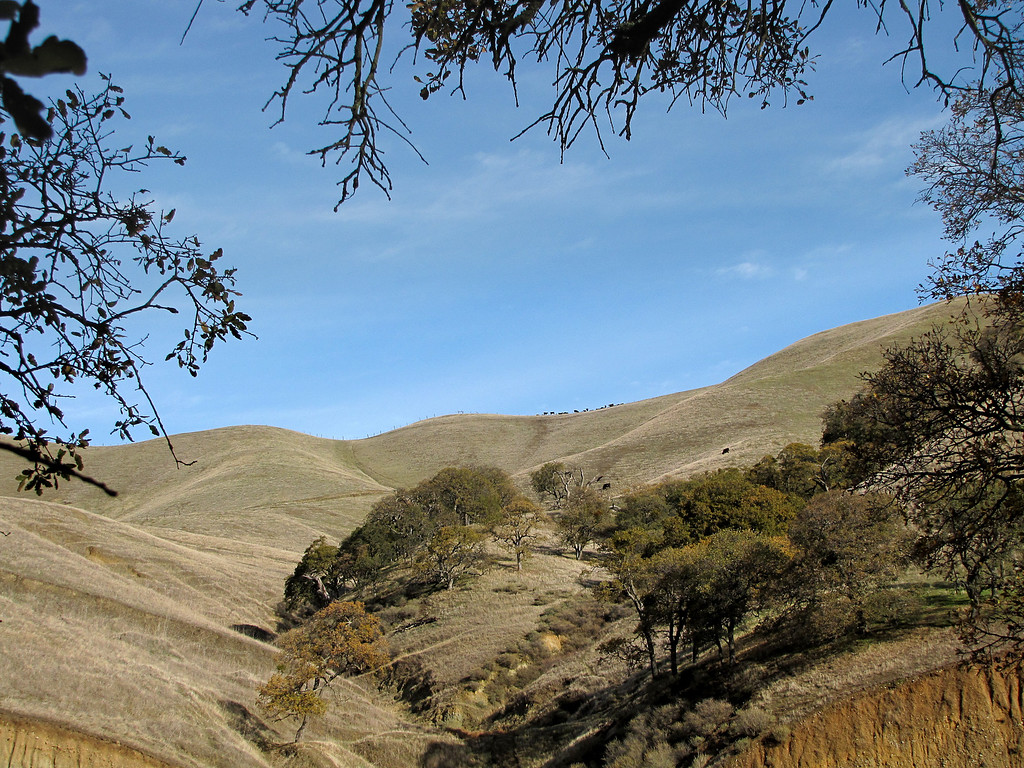 61 OG - Cows on a distant hill.   Yes, they're there!<br /> (EBRPD - Del Valle)