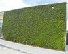 Ivy Wall in the parking lot