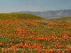 Antelope Valley Poppy Reserve, CA (1)