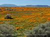 Calif poppies, Davey gilia, goldfields (2)