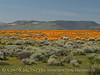 Calif poppies, Davey gilia, goldfields (1)
