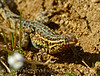 Side-blotched Lizard, Uta stansburiana, Antelope Valley CA (6)