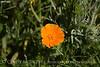 California Poppy closeup (2)