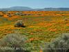 Calif poppies, Davey gilia, goldfields (3)