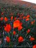 Calif poppies, Antelope Valley CA (2)