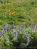 Antelope Valley Poppy Reserve, CA (8)