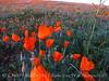 Calif poppies, Antelope Valley CA (1)