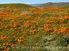 Antelope Valley Poppy Reserve, CA (6)