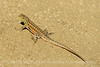 Side-blotched Lizard, Uta stansburiana, Antelope Valley CA (5)