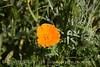 California Poppy closeup (1)