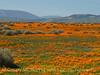 Calif poppies, Davey gilia, goldfields (4)