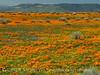 Calif poppies, Davey gilia, goldfields (6)