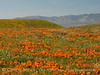 Antelope Valley Poppy Reserve, CA (2)