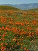Antelope Valley Poppy Reserve, CA (4)