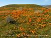 Antelope Valley Poppy Reserve, CA (5)