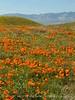 Antelope Valley Poppy Reserve, CA (3)