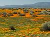 Calif poppies, Davey gilia, goldfields (5)