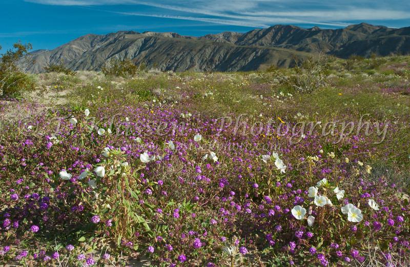 Sand verbena and Dune primrose in Anza Borrego State Park, California, USA.