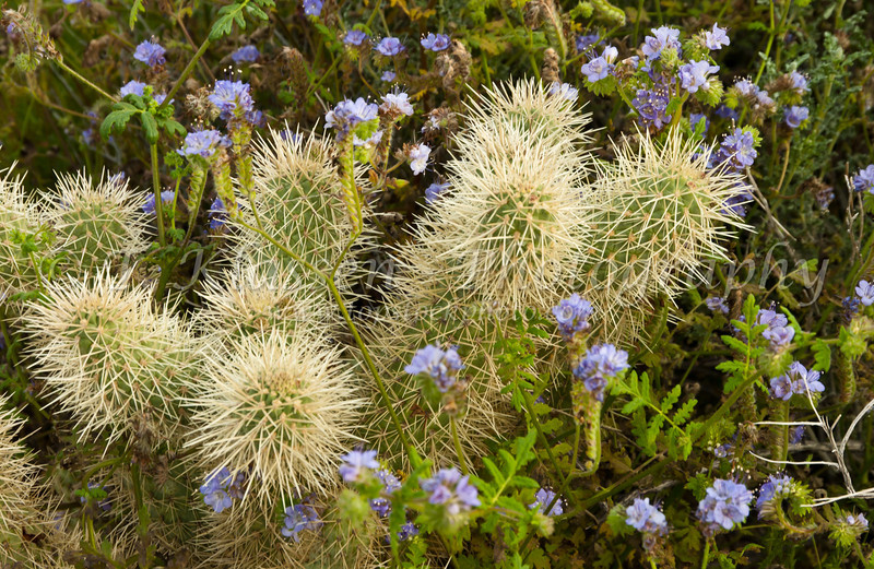 Wildflower notched leafed phacelia with various cacti in Anza Borreg State Park in California, USA.