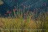 Ocotillo in bloom, Anza-Borrego Desert SP, CA (2)